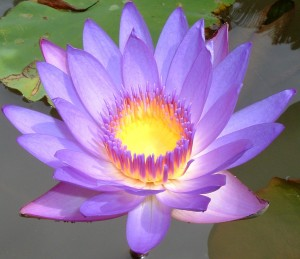 lotus flower 2 300x259 Ask The Lama