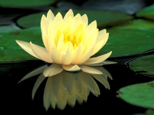 Water-Lily-Or-Lotus-Flowers